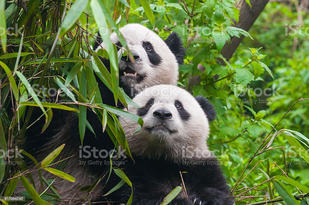 Two panda bears in bamboo forest stock photo
