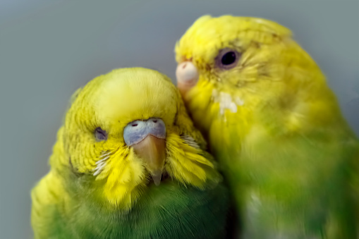 Two parakeets. One parrot says to the other ear