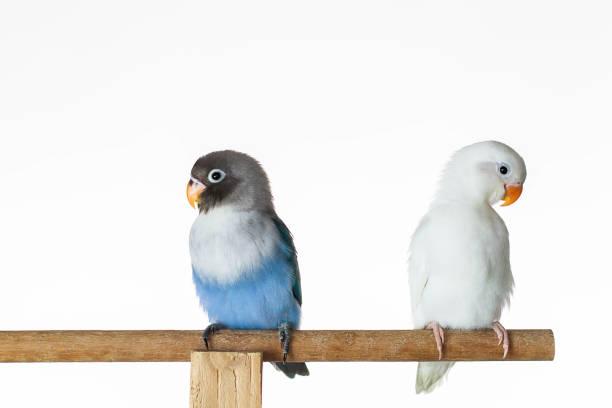 deux tourtereaux assis sur le perchoir sur fond blanc de perroquet - animaux familiers exotiques photos et images de collection