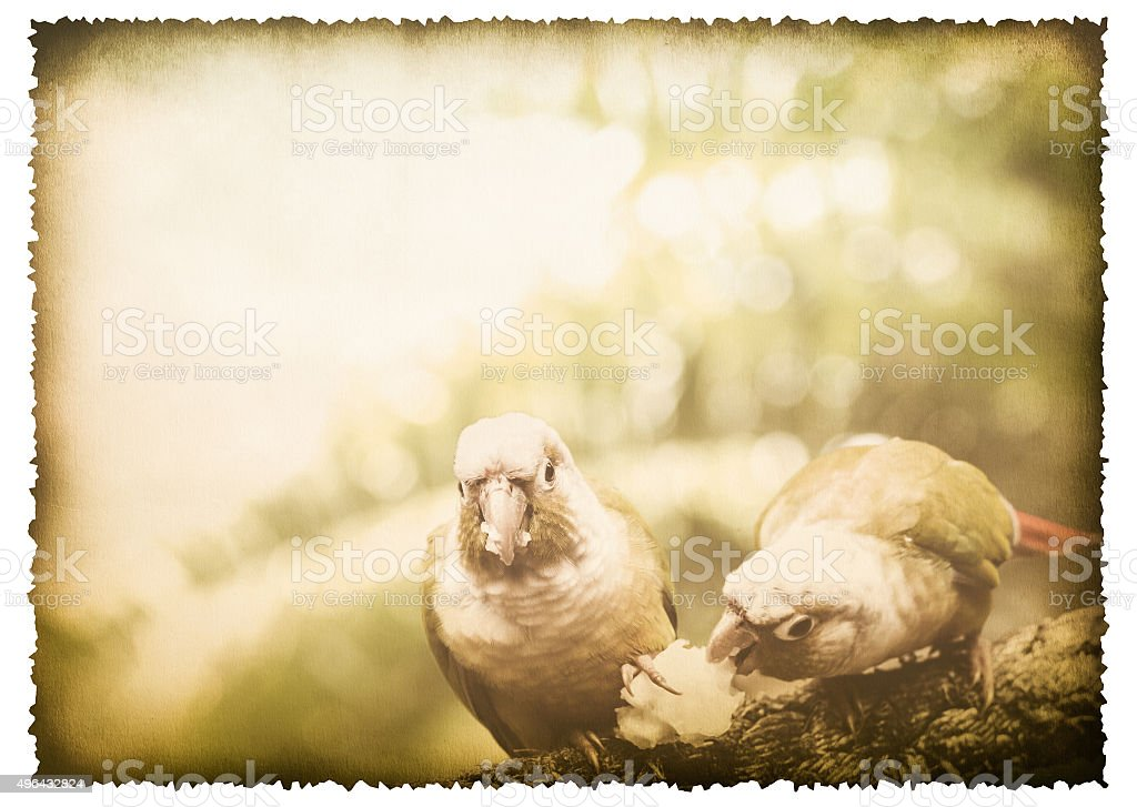 Two parrot on old burnt paper vintage style stock photo
