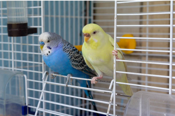 two parrot sits at the exit of the cage. birds - arto di animale arto foto e immagini stock