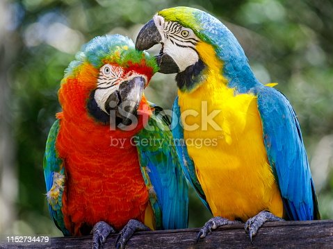 Two parrots affection - macaw tropical bird couple on nature background – Pantanal wetlands, Brazil