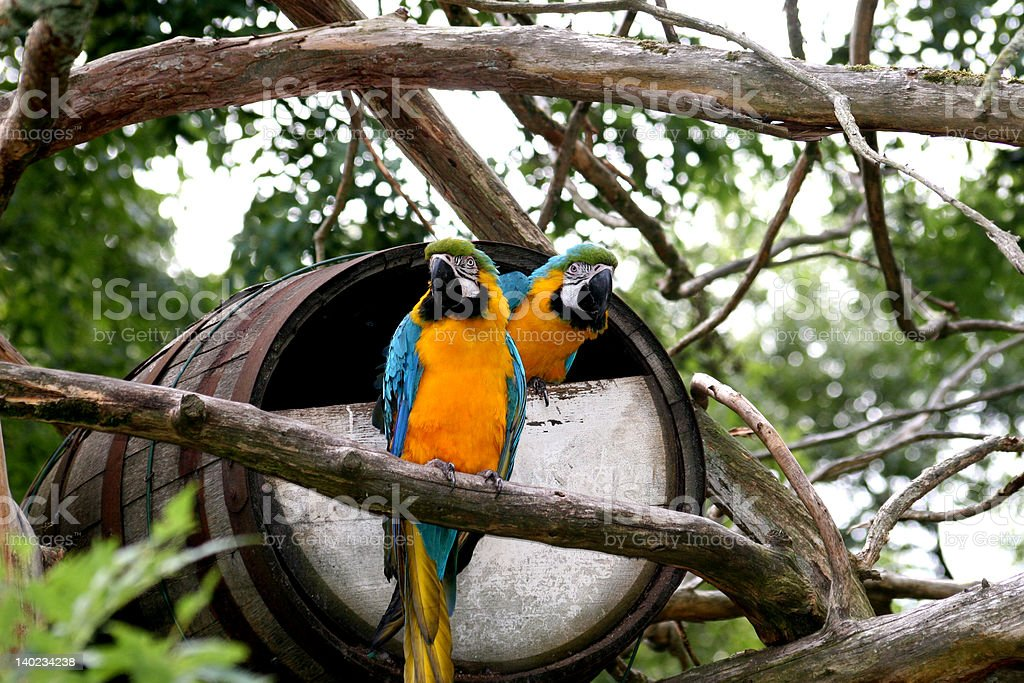 Two Parrots and a Barrel royalty-free stock photo