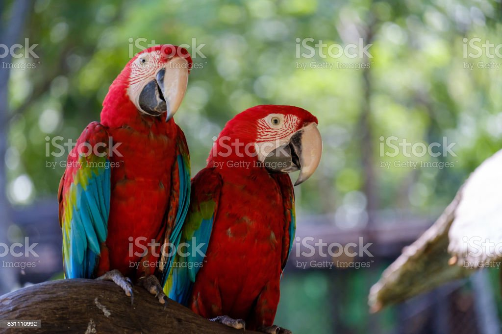 Two parrots on branch. stock photo