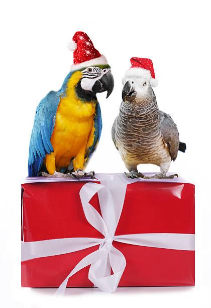 Two parrots on christmas parcels picture id623181808?b=1&k=6&m=623181808&s=612x612&w=0&h=w zsc5ghoef4zmays6pwji7c1fxcvb6sdmfeewwm20u=