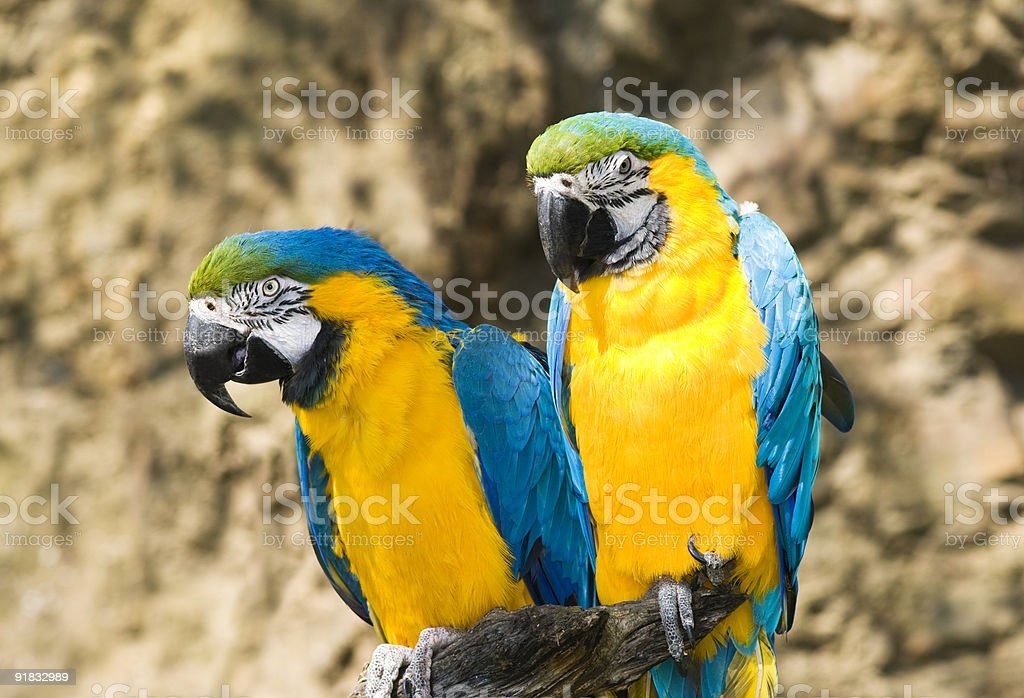 Two parrots royalty-free stock photo