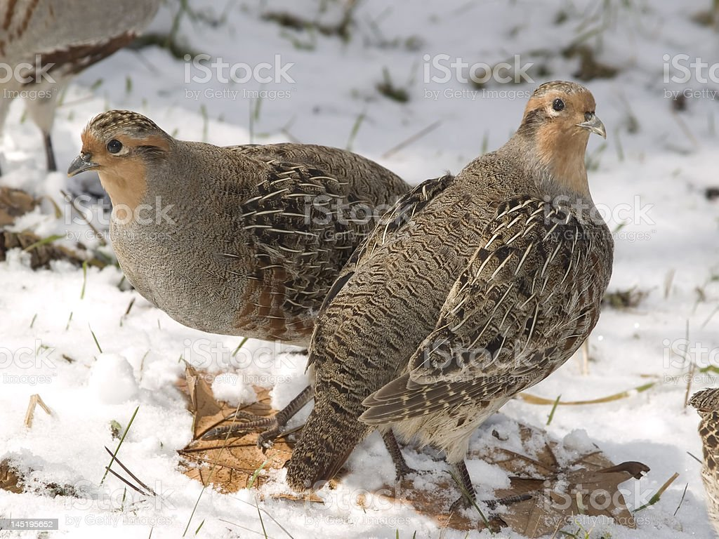 Two Partridges royalty-free stock photo