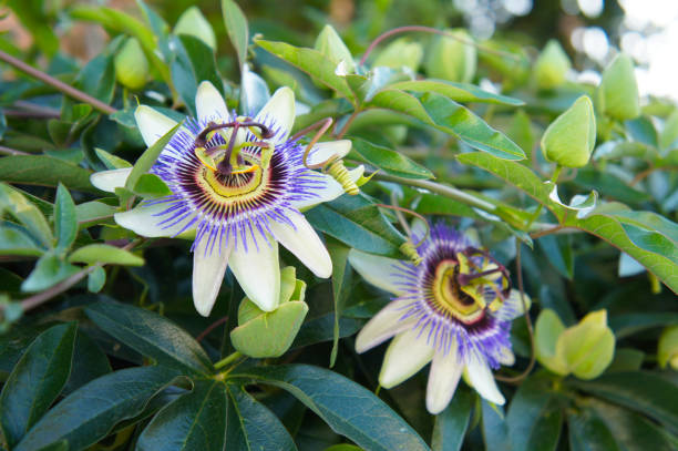 two passiflora caerulea white and blue flowers with green - passiflora foto e immagini stock
