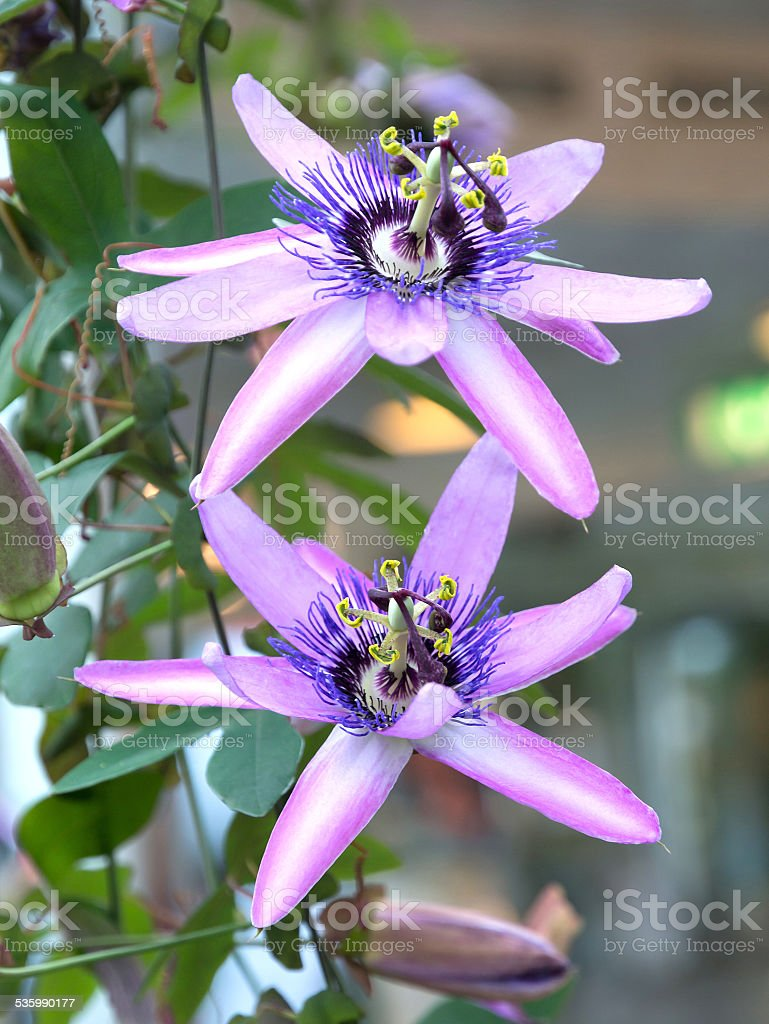 Two passion flowers stock photo
