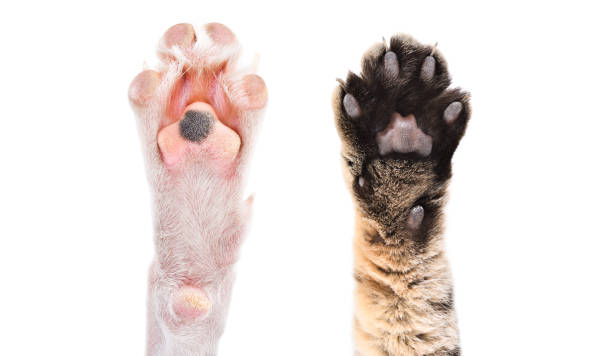 Two paws of dog and cat together isolated on white background picture id1180215465?b=1&k=6&m=1180215465&s=612x612&w=0&h=omhazctiepgow6queqbatguo1zr48cdsu6 jafcmlf0=