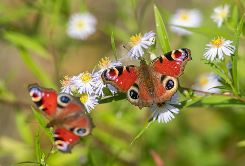 Two peacock butterflies sucking on white blooming aster flowers.