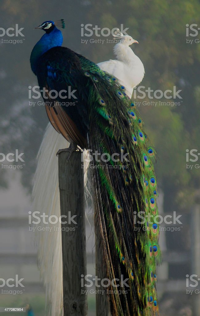 Two Peacocks on Post stock photo