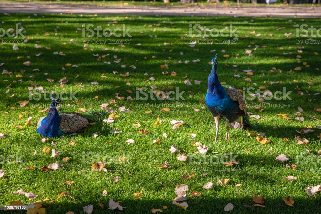 Two peacooks in the Park stock photo