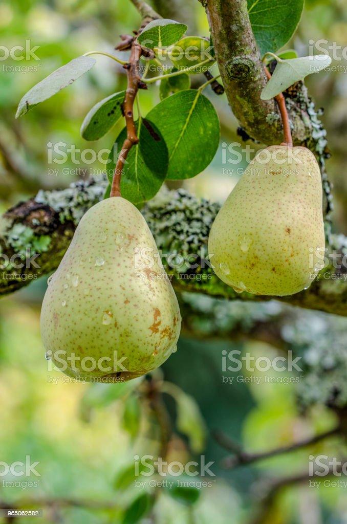two pears zbiór zdjęć royalty-free