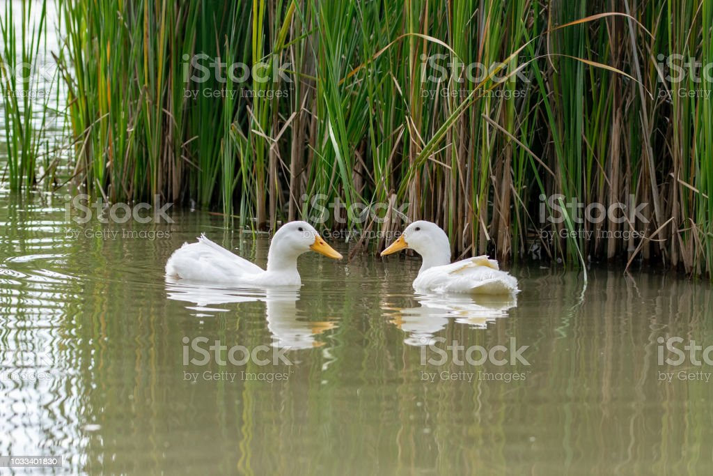 Two Pekin white ducks looking at each other nearly forming a heart shape with their beaks stock photo