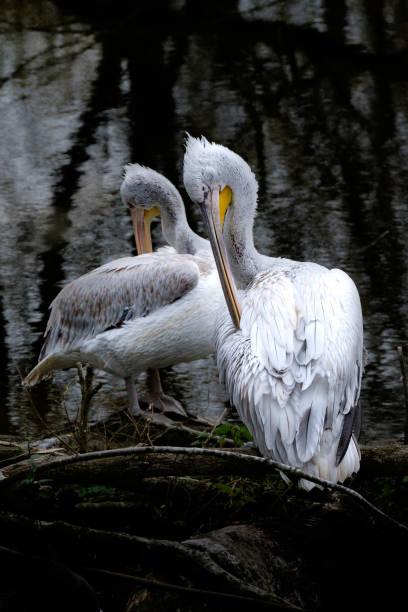 Zwei Pelikane Reinigung selbst. – Foto
