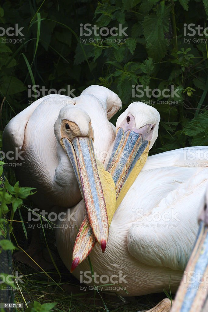 Two pelicans royalty-free stock photo