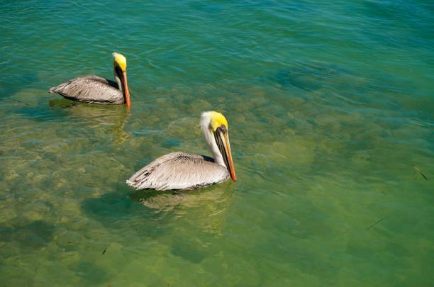 Two pelicans swimming in shallow ocean water in florida picture id1139194806?b=1&k=6&m=1139194806&s=612x612&w=0&h=edtgw9doe36wnb y9cdfdcnwmdov39ngizen7kbhuay=