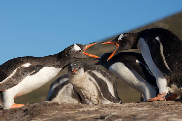 Two Penguins Fighting stock photo