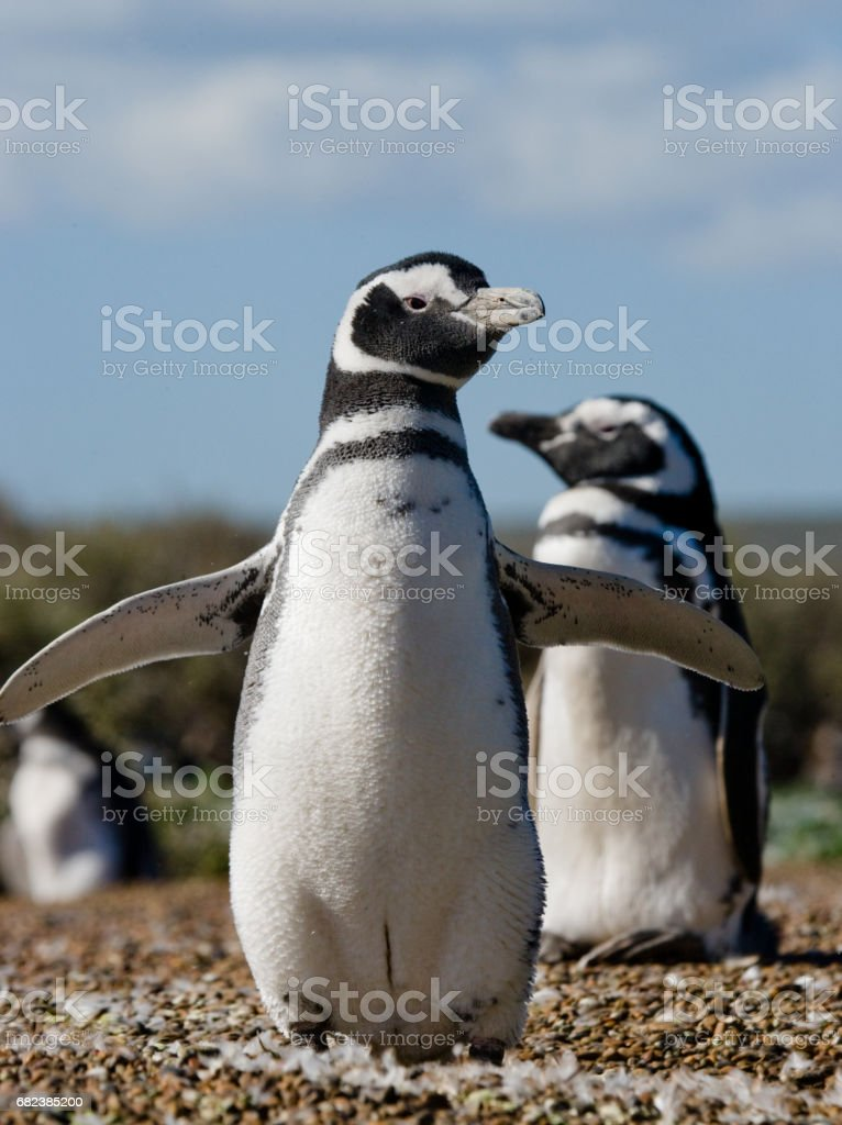 Two penguins in a hole. royalty-free stock photo