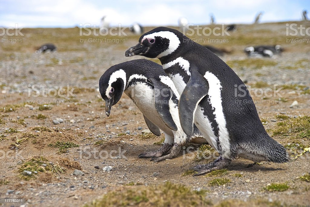 Two penguins looking for a nest near Punta Arenas royalty-free stock photo