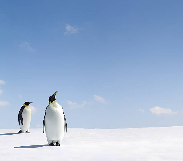 Two penguins looking up at the blue sky stock photo
