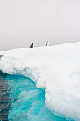 Two gentoo penguins on an iceberg