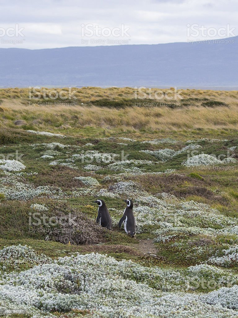 Two Penguins royalty-free stock photo