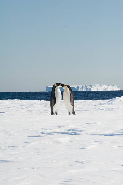 Two penguins Two Emperor Penguins stand together, beaks touching emperor penguin stock pictures, royalty-free photos & images