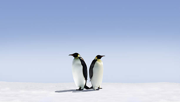 Two penguins standing back to back on a field of snow Penguins don't know where to go emperor penguin stock pictures, royalty-free photos & images