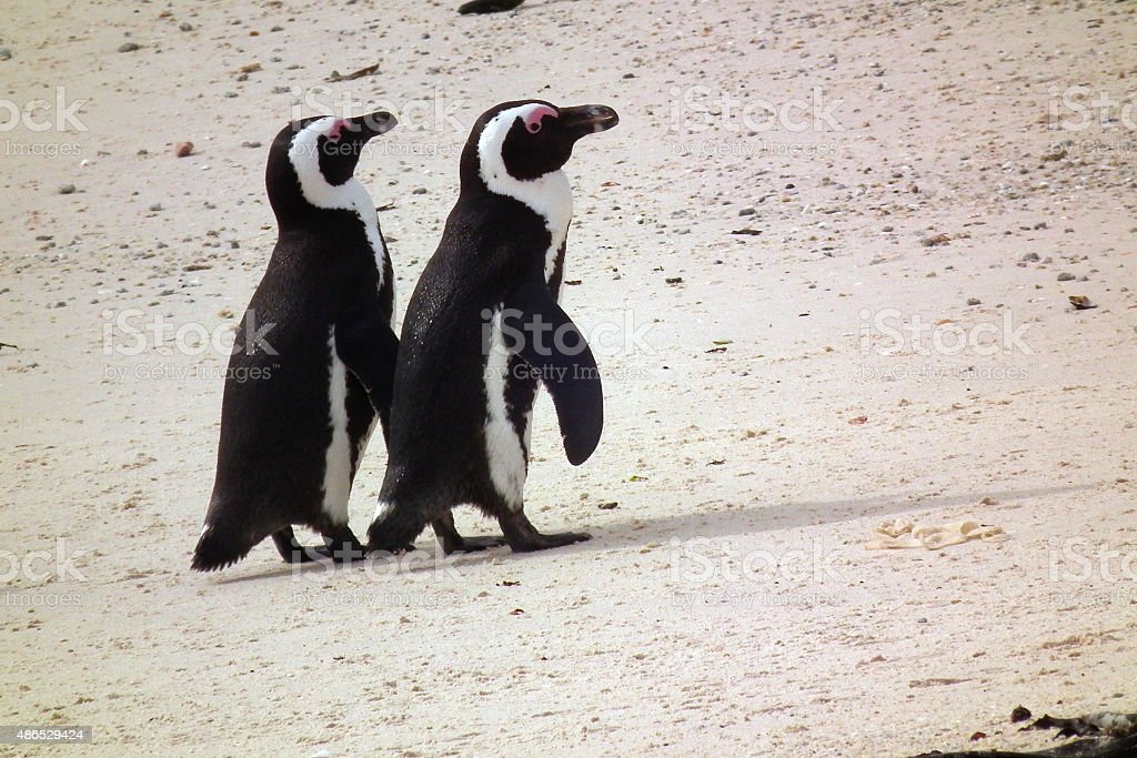 Two penguins walking together on a beach stock photo