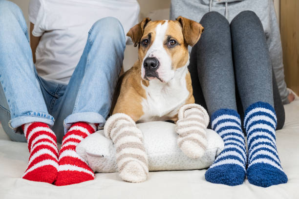 Two people and their dog in colorful socks sitting on the bed in the bedroom Staffordshire terrier and owners on the bed wearing similar colored socks, concept of a dog as a family member fluffy stock pictures, royalty-free photos & images