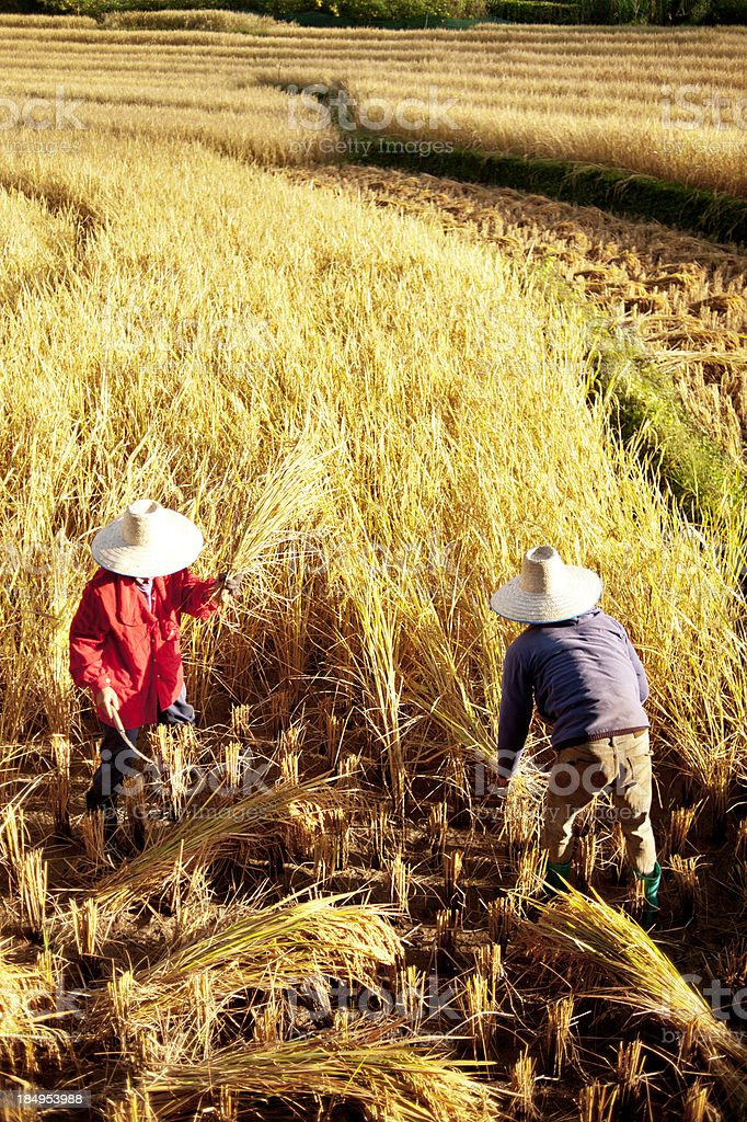 Two People Harvesting Rice stock photo