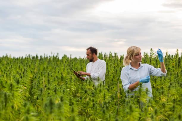 två personer observera cbd hampa växter på marijuana fält och skriva resultat i tablett. de använder pincett och provrör. - carpel bildbanksfoton och bilder