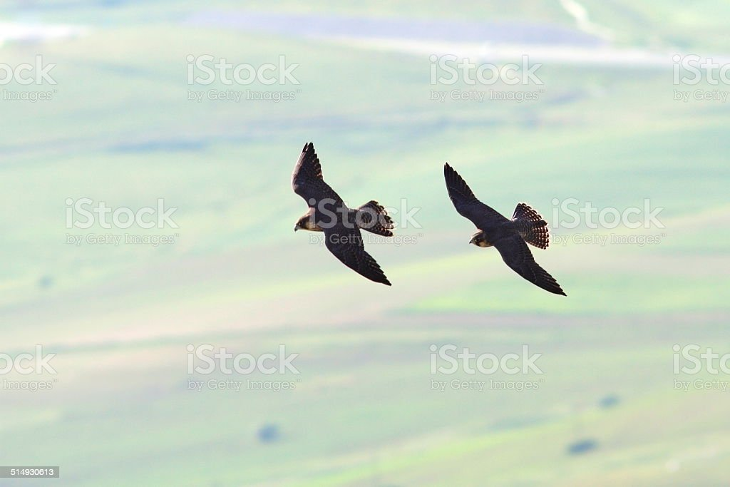 two peregrine falcons flying together in formation