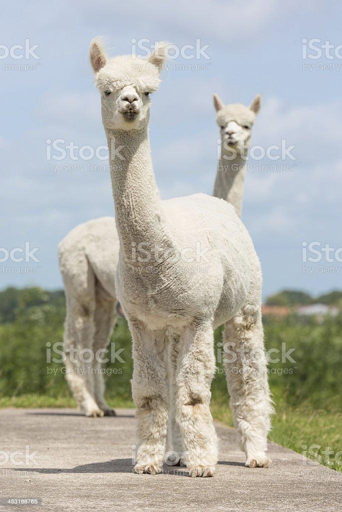 Two peruvian alpacas in a Dutch animal park stock photo