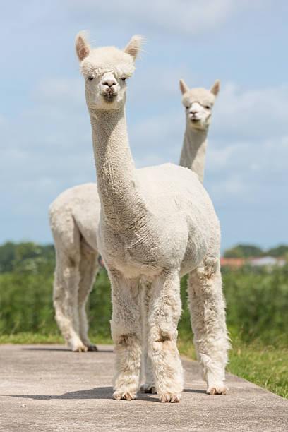 dos alpacas peruano en un holandés animal park - alpaca fotografías e imágenes de stock