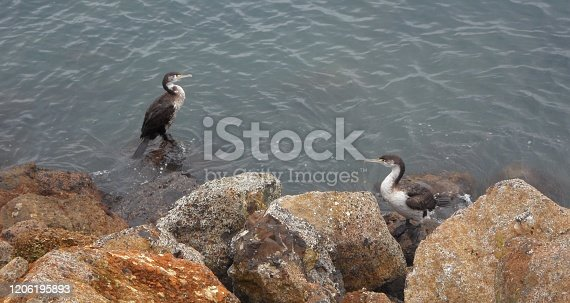 Two Pied Cormorant resting on the Lakeside on rocks, water birds in New Zealand