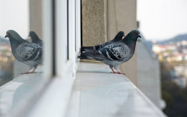 Two Pigeon birds standing on windowsill looking at the city Pigeon birds standing on windowsill pigeon stock pictures, royalty-free photos & images