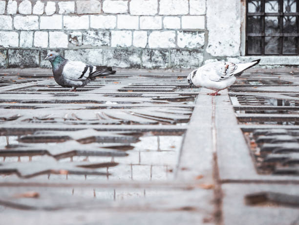 Two pigeons drinking water – zdjęcie