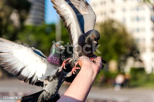 Two pigeons feeding on the hand of young woman, Barcelona, Spain.