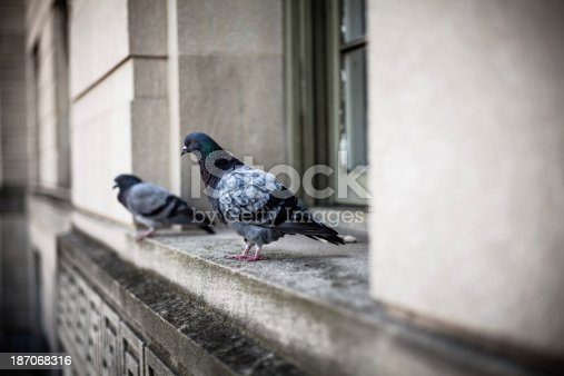 istock Two Pigeons on a Window in Washington DC 187068316
