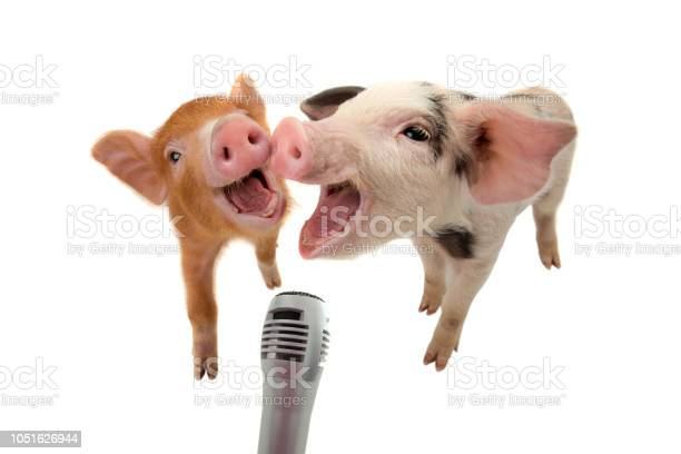 Two piglet are singing into the microphone isolated on white picture id1051626944?b=1&k=6&m=1051626944&s=612x612&h=6achupwbrzr2hqsq7abfseuqpaekhdi8k4ccsk gvne=