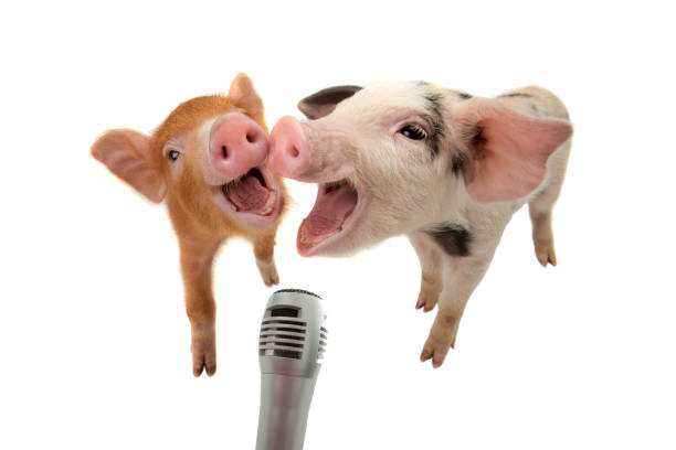 Two piglet are singing into the microphone isolated on white picture id1051626944?b=1&k=6&m=1051626944&s=612x612&w=0&h=ot1cuu9ljsdnmmij8edp5walcfhmphk2qvut er2gzw=
