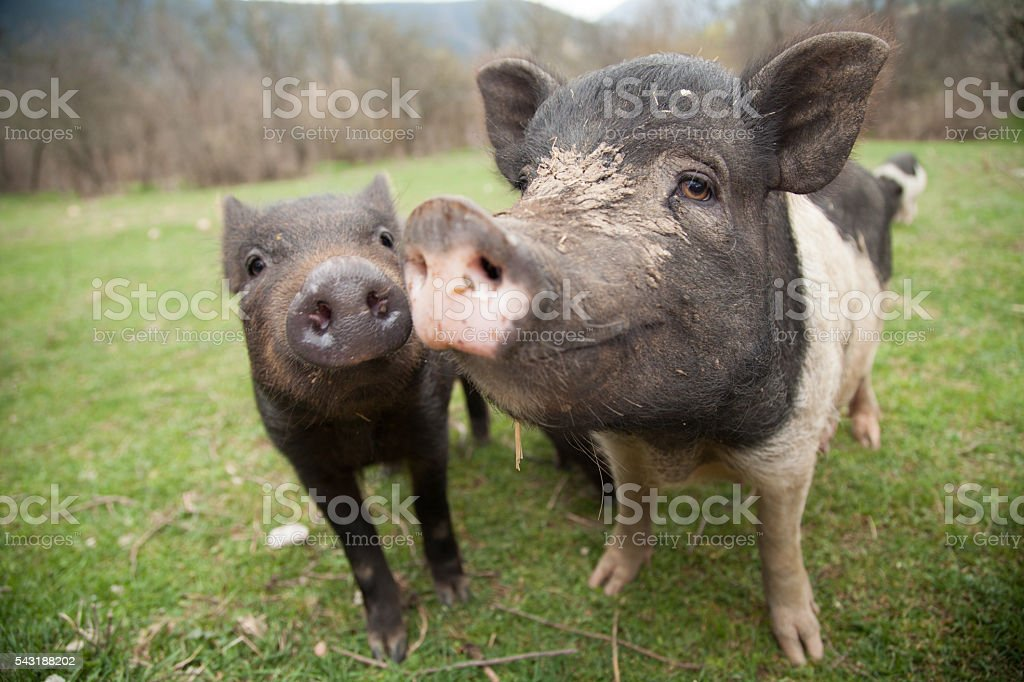 two pigs in a meadow stock photo