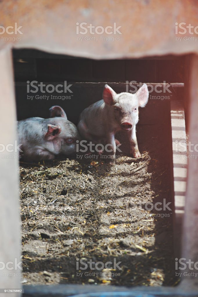 Two Pigs in Pigpen Sleeping and Looking Close-Up stock photo