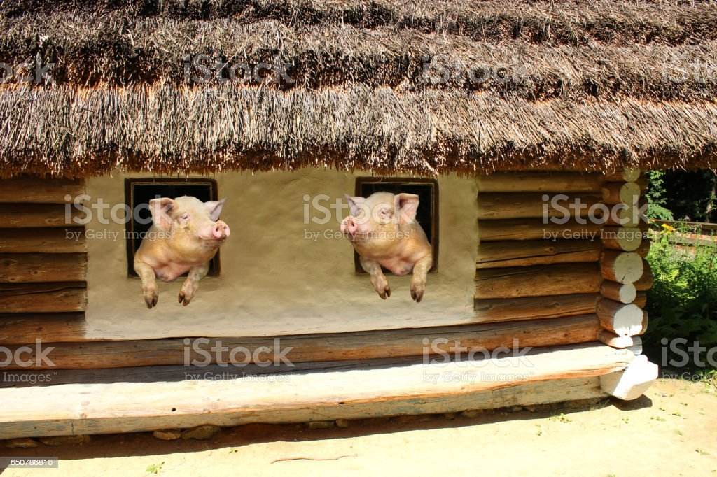 two pigs look at each other from windows of old rural house stock photo