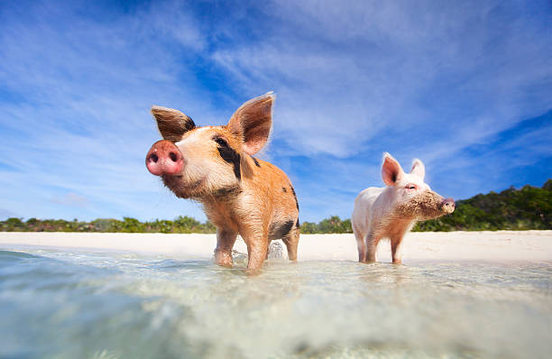 Two pigs of exumas in the shore ready to swim  stock photo