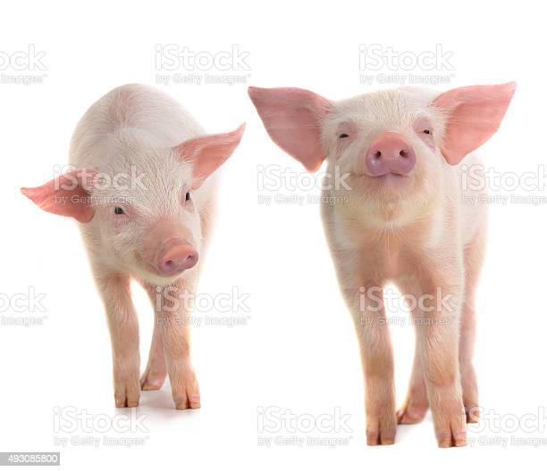 Two pigs picture id493085800?b=1&k=6&m=493085800&s=612x612&h=towkjsxntkhrhx4tk6uzshkzdkf t a7jvrpbkvnpjy=