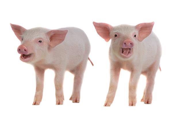 zwei tauben - pig ugly stock-fotos und bilder